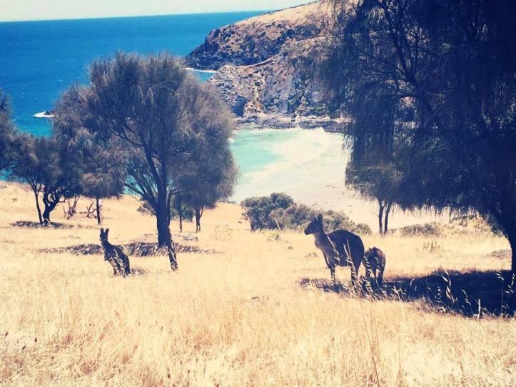 Cangurus nas praias australianas. Viagens pelo Mundo